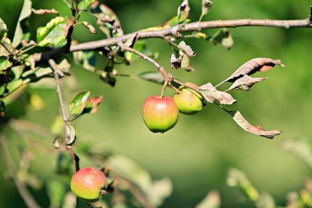 red apples on a branch photo