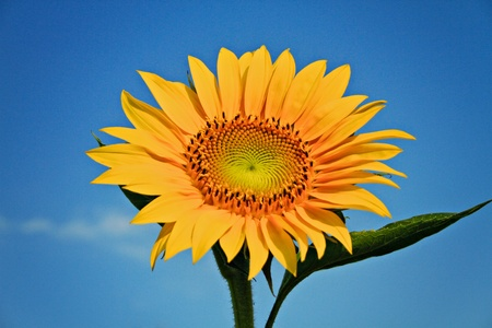 sunflower closeup Stock Photo