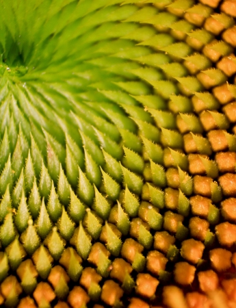 fibonacci: sunflower macro Stock Photo