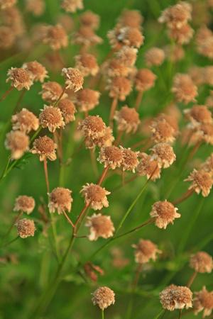 Feverfew  Tanacetum parthenium  photo