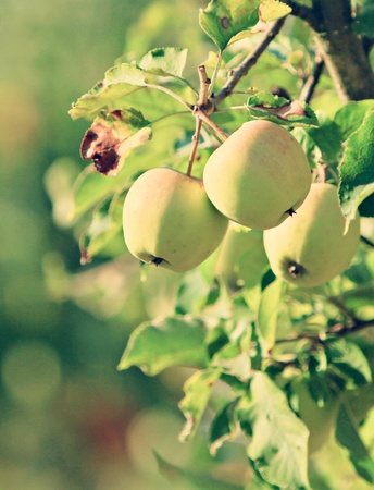 apple branch photo