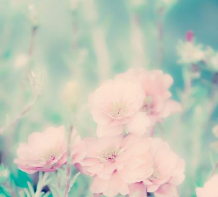 pastel flowers: Portulaca grandiflora flower Stock Photo