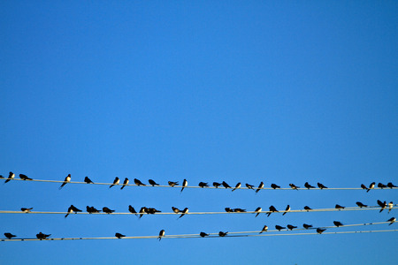 swallows on wire photo