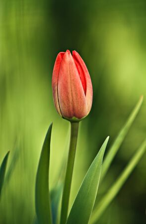 red tulip: Red Tulip