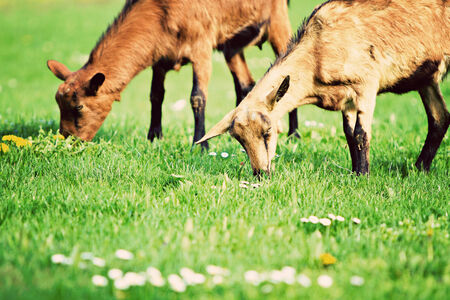 hircus: goats (Capra aegagrus hircus)