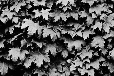 bw: bw leaves background Stock Photo