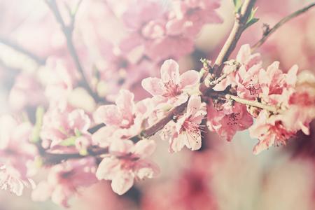 flowering peach tree photo