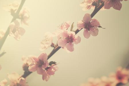flowering peach tree, retro look photo