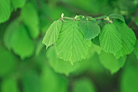 hazelnut tree: hazelnut tree twig