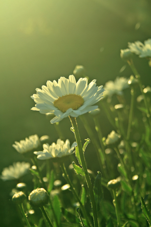 daisies in the morning sun light Stock Photo