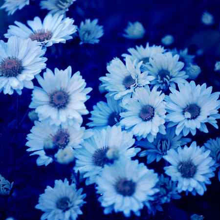 daisies with blue filter