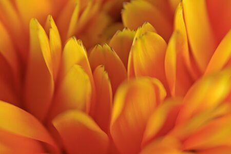yellow orange flower petals macro