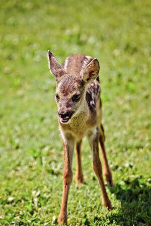 cute young wild roe deer