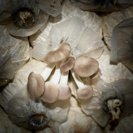 Fairy mushroom cultivation