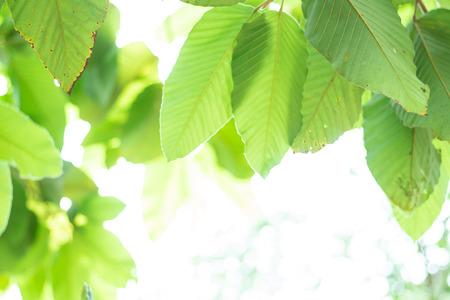 Nature abstracts background- Green leaved tree background
