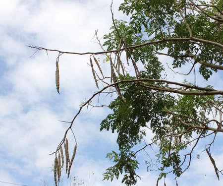 oleifera: Moringa oleifera ramas de �rbol con vainas de semillas