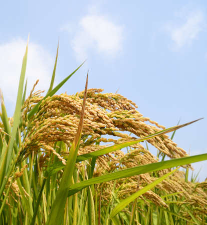 paddy fields: Rice paddy Stock Photo