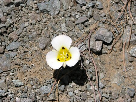 mariposa: This is a white and yellow Mariposa lily in the Sierra Nevadas of Northern Califonia.