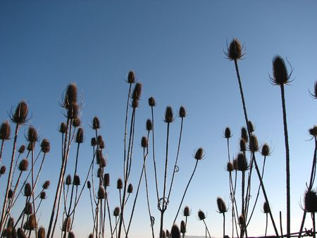naturopath: old Milk Thistle plants on an early winter morning. Stock Photo