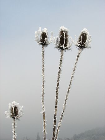 naturopath: three frozen flower heads towering above one shorted frozen flower. Stock Photo