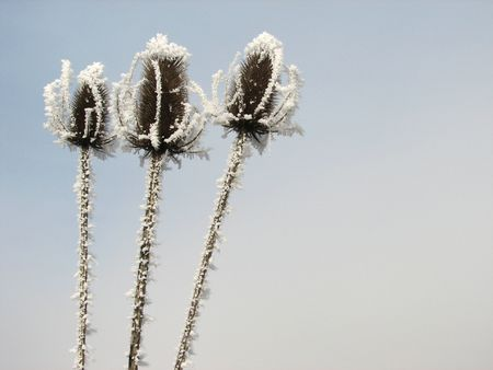 naturopath: three frozen flower heads standing together in a Winters mist.