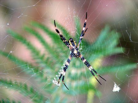 argiope: an Argiope Hawaiian spider.
