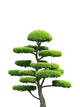 bonsai: An asian style ornamental green tree in isolation.