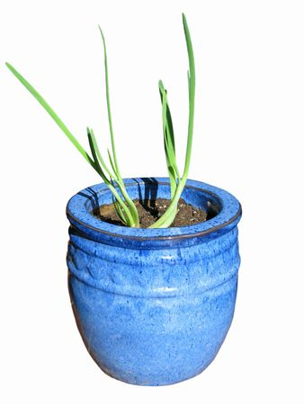 A singular spring onion planted in a blue ceramic pot welcoming the spring. Stock Photo - 2676367