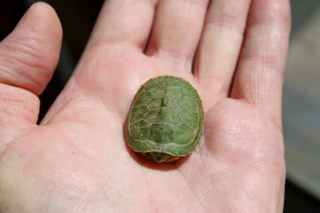 Baby Turtle In Hand. We found it out front. We have alot of turtles around here