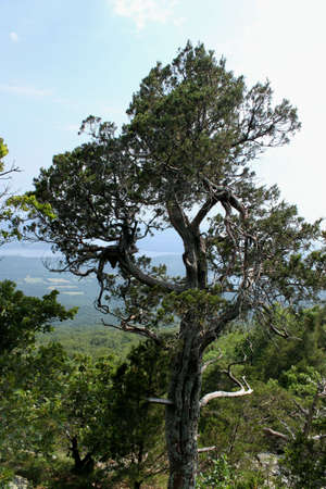 A tree on the edge of a cliff. This is at Mt Magazine State Park in Arkansas the highest point in Arkansas at 2,753 feet above sea level