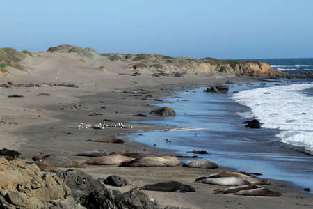 Elephant Seals At Rest. This is at a viewing area along coast route 1