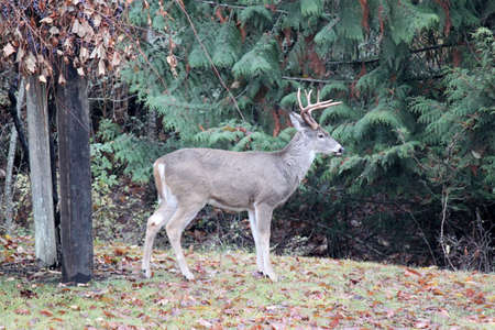 Six Point Whitetail Buck,  It is looking around  Stock Photo