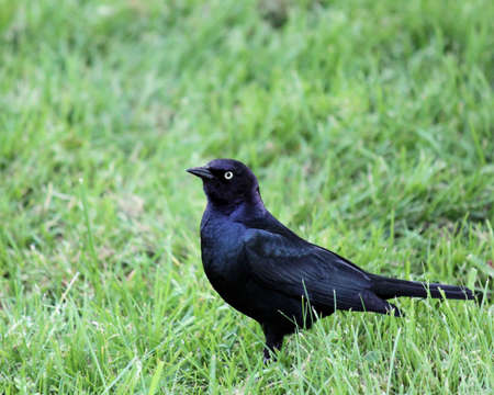 Common Grackle in the grass waiting for handouts