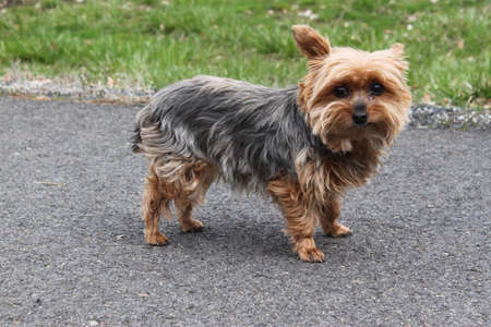 Toy Yorkshire Terrier  This is Dee Dee our pet  Stock Photo