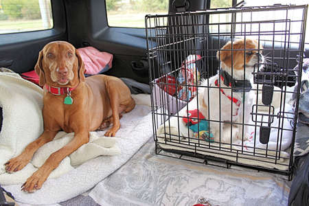 A Vizsla and Pekingese on a road trip