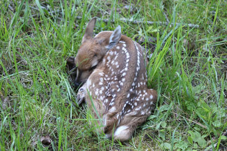 Newborn Fawn  This Whitetail fawn was in grass and hard to see untill you were upon it  Stock Photo