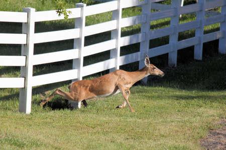chose: Deer strisci� sotto Fence. Piuttosto che saltare questa Doe Whitetail ha scelto di passare sotto la recinzione. Archivio Fotografico