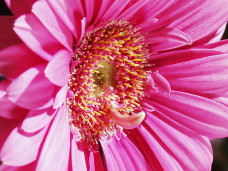 pink daisey Stock Photo - 4914868