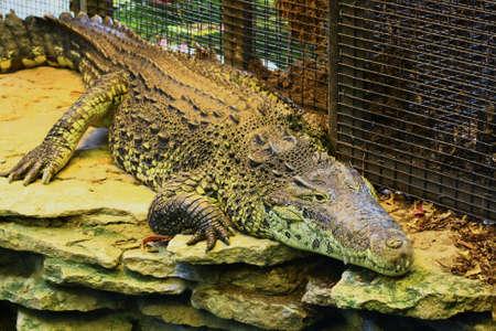 crocodile Banco de Imagens