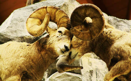 two rams fighting