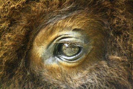 buffalo eye Stock Photo