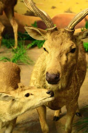 mother deer with offspring 版權商用圖片