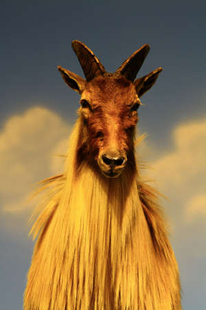wild goat: cabra Foto de archivo