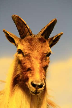 wild goat: cabra mont�s