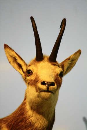 wild goat: cabra salvaje