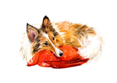 lassie: Sheltie. Sleeping dog. Watercolor hand drawn illustration. Stock Photo