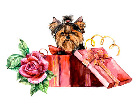 yorkshire terrier: Puppy as a gift with rose. Yorkshire terrier looks out of a box. Pink roses and hair dress. Ridiculous puppy background, watercolor composition. Hand-drawing water color. Illustration.