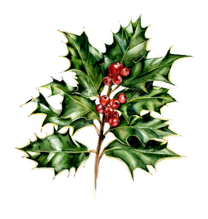 Holly. Branch. New Years and Christmas motive. Hand drawn watercolor illustration.