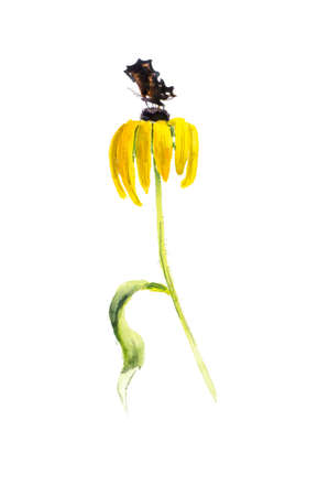 chamomile flower: Rudbeckia composition. Yellow chamomile. Flower backdrop. Watercolor hand drawn illustration.