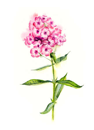 stamens: Phlox. Flower backdrop. Decoration with pink flowers. Place for your text. Watercolor hand drawn illustration